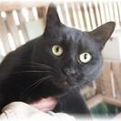 里親様を探しています!! 黒猫 3歳前後の女の子 (避妊手術済み)