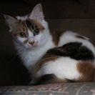 可愛い毛長の三毛猫です。