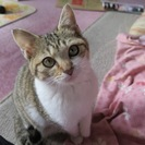 キジトラ白の女の子三ヶ月