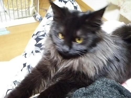 他サイトで決定しました】長毛黒猫♀6ケ月里親様募集中