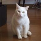 里親さんが見つかりました。白猫 3歳 メス よろしくお願いします