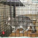 現在交渉中です。  グレのートラ猫 オス 1歳  よろしくお願いします