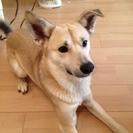 【飼い主飼育放棄の為再募集!】中型犬MIXオス ぼくの新しい家族...