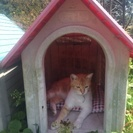成猫、茶トラの雄ネコ君の里親になってくれませんか?