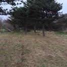 ★あげます★松の木何本でもどうぞ。所沢★無料★