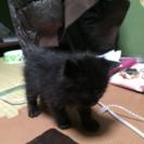 黒い子猫の里親募集します☆
