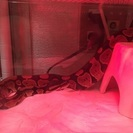ボールパイソン 蛇