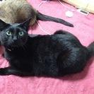 [急募]4歳の黒猫♀「ゆい」