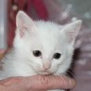 白い子猫の里親募集