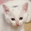 頭にハート型模様子猫ブルーアイ子猫の里親募集