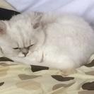 ペルシャ猫(メス)です