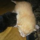黒と茶色の子猫の里親募集です。