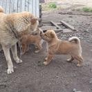 母親は北海道犬
