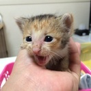生後3週間程 三毛猫メス