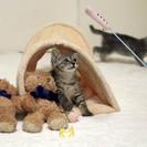 グレイとキジトラのかわいい兄弟 - 猫