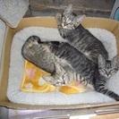 子猫5匹の里親募集
