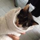 生後1ヶ月〜1ヶ月半仔猫の里親さん募集します。