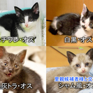 二ヶ月半~三ヶ月の子猫(他県でもお届けします)