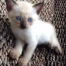 シャム猫の赤ちゃん