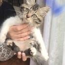 2ヶ月位の長毛の子猫ちゃん☆女の子  里親さん決定しました!