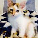 【生後約2か月】車のボンネットから助けた子猫をもらってください