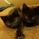 生後2か月くらいの仔猫2匹(譲渡は1匹でも可)の里親さん募集!