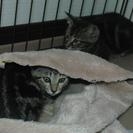 捨て猫2匹(アメショMIX?)の里親を募集します - 北名古屋市
