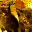 生後1ヶ月 黒猫2匹 里親様募集!