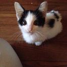 仔猫(2~3ヶ月メス)の里親を探しています