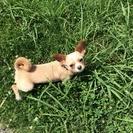 【いったん募集を停止します】チワックス(オス、成犬)捨て犬でした