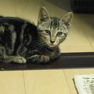 捨て猫2匹(アメショMIX?)の里親を募集します − 愛知県