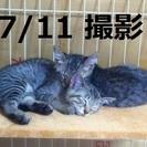 可愛いキジトラ兄弟子猫(ノラちゃん)の里親様募集、ワクチン済み、...