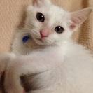 白猫 生後2ヶ月くらい オスです。