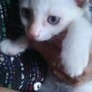 仔猫 シャムmix女の子3ケ月