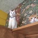 マイペースな青い瞳の白猫、なっちゃん