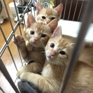 茶トラ2匹の子猫 里親募集