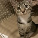 【トライアル決定しました】キジトラ女の子です。推定5~6ヶ月?猫...