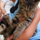 3ヶ月半齢 おしゃまなきじとら美猫