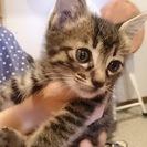 おっとり穏やかなキジトラ子猫ちゃん(生後2ヶ月♂)の里親募集!