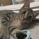 子猫 お顔も抜群!とっても人懐っこくおとなしい飼い易い子です