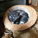 甘えん坊なサビ猫ちゃんの里親募集です。