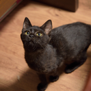 ネコリパ子猫保育園 控えめだけど人間大好きちっちゃな黒猫リンちゃん