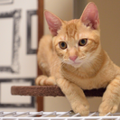 ネコリパ子猫保育園 二代目ケロは細マッチョ、性格バツグン