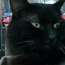 モフモフ・半長毛の黒「うどんげ」3歳オス