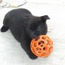 純血甲斐犬 2か月の女の子