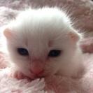 生後一週間の仔猫。