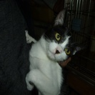 性格の大人しい、人に良く慣れた、生後4ヶ月位のオス猫です。