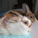 ウサギ(♂)2月生まれ2羽の里親募集