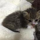 生後一ヶ月の子猫の里親募集中!
