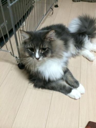 足長マンチカン2歳オス (karen) 旭川の猫の里親募集|ジモティー